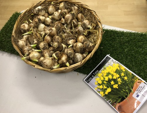 Planting bulbs at home